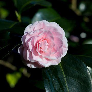 Wet camellia von Helga Novelli