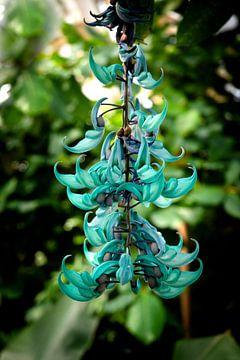 Liaan / Cissus macrobotrys Hortus van Marly De Kok