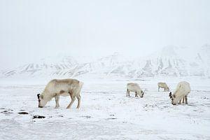 Rendieren in de sneeuw