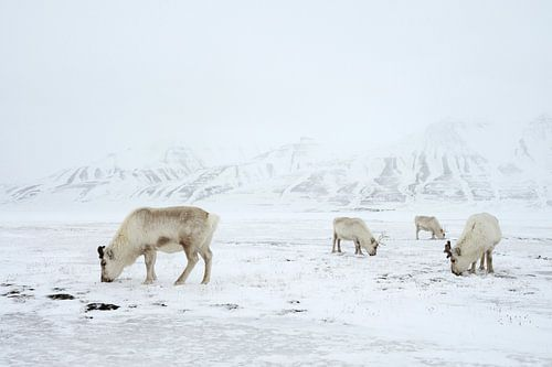 Rendieren in de sneeuw van LTD photo