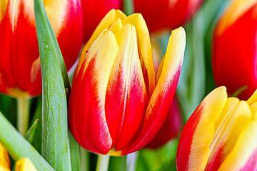 Tulpen van Eduard Lamping