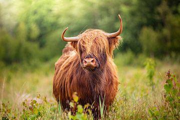 Schotse Hooglander in hoog gras tijdens de lente van Evelien Oerlemans