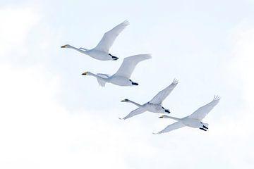 Vier in Folge, Wilde Schwäne in Japan. (Whooper Swans) von Sven Scraeyen