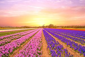 Tulip fields in the Netherlands in spring at sunset