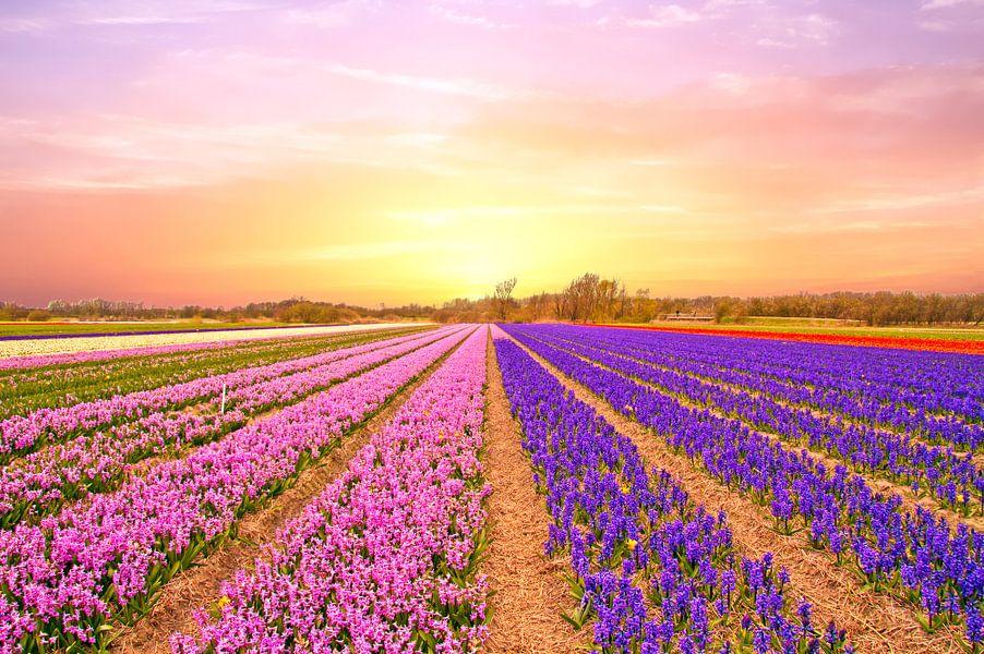 Tulip fields in the Netherlands in spring at sunset van nilaya van vliet