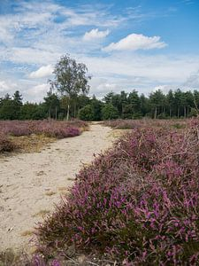 De  heide van de Maashorst in bloei
