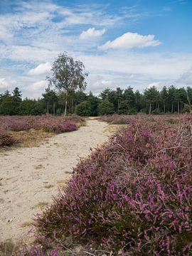Die blühende Heide des Maashorst von Moniek van Rijbroek