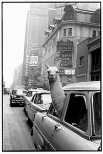 A Llama in Times Square