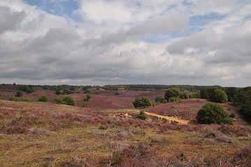 Blühende Heide-Landschaft der Posbank bei Rheden mit violetter Heide von R Verhoef