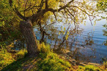 Bäume am Prerowstrom in Prerow sur Rico Ködder