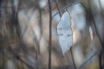 Lunaria rediviva van Christl Deckx
