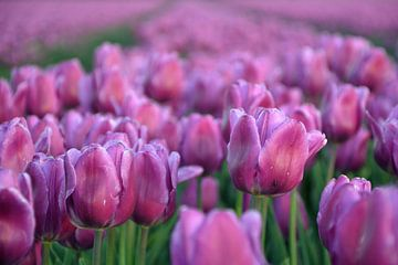 Tulpen zover je kijken kan - deel 2 van Miranda Rens