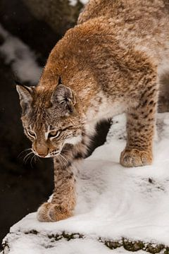 mooie lynx loopt in de sneeuw van boven naar beneden close-up van het gezicht en de poten van Michael Semenov