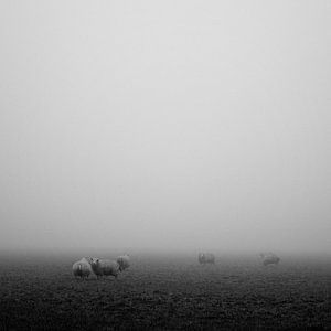 Zwarte Mist - schapen