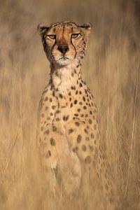 Op de uitkijk - Cheetah