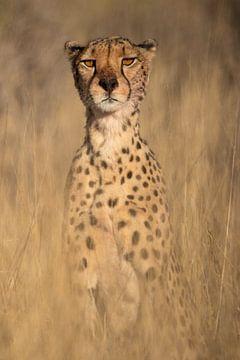 Op de uitkijk - Cheetah van