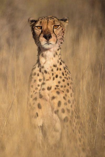 Op de uitkijk - Cheetah van Sharing Wildlife