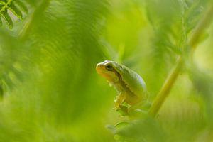 Boomkikker in het groen van