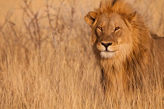 Lion looking right at you