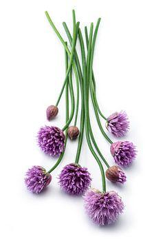 Bieslook of Allium schoenoprasum op een witte achtergrond van Ruurd Dankloff