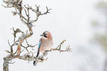 Eichelhäher (Garrulus glandarius) auf einem Ast während eines Schneesturms von Nature in Stock