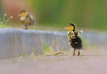 Flying duckling sur Remco Van Daalen