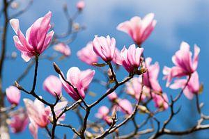 Roze  bloeiende Magnolia