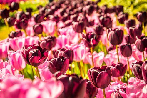 Paars en roze tulpen