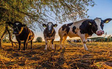 Nieuwsgierige koeien uiterwaarden Oosterbeek van Michiel van Druten