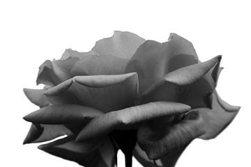 Black rose von Carmen Fotografie