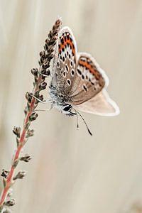 Heideblauwtje in zachte tinten van Roosmarijn Bruijns