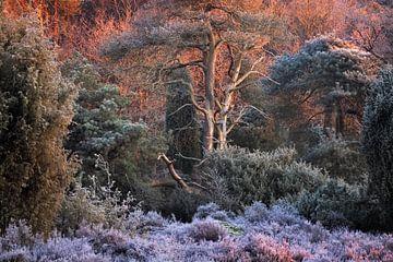Na een koude winter nacht op het Dwingelderveld verwarmt de warme ochtendzon het landschap en smelt  van Bas Meelker