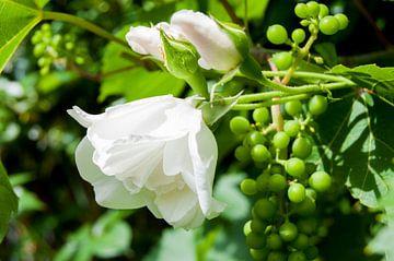 witte roos wijngaard druiven tros bloem mooi van Gerard de Ridder