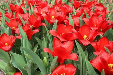 rode tulpen van laura van klooster