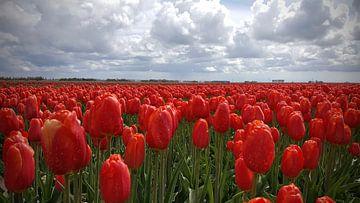 Rote Tulpen im Nordosten Polder von Rik van de Beek