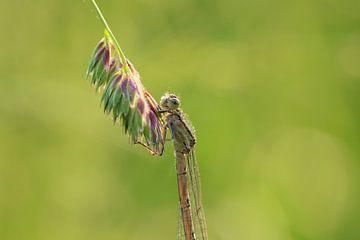 Libelle von t de bruin
