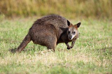 Sumpfwallaby (Wallabia bicolor) von Dirk Rüter