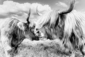 Twee Schotse Hoogland Vee van Daniela Beyer
