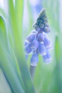 blauwe druifjes / grape hyacinths van