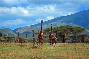 Kudde giraffen op de uitlopers van de Ngorogorokrater van