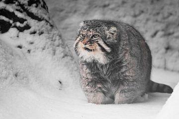 Vette en ontevreden blikken. Ernstige, wrede, pluizige, wilde kattenmanoeuvre op witte sneeuw. van Michael Semenov