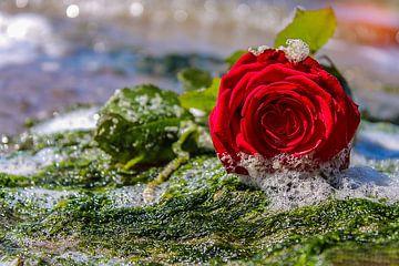 Die verlassene Rose von tathiana Brussel