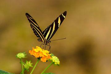 Zwart en Geel Gestreepte Vlinder van