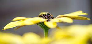Gele spaanse margriet