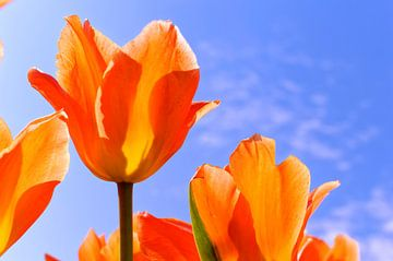 Tulipany van Dawid Baniowski