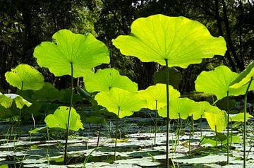 Lotus Bloem Vijver van Michael Klinkhamer