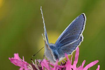 Vlinder icarusblauwtje sur Sascha van Dam