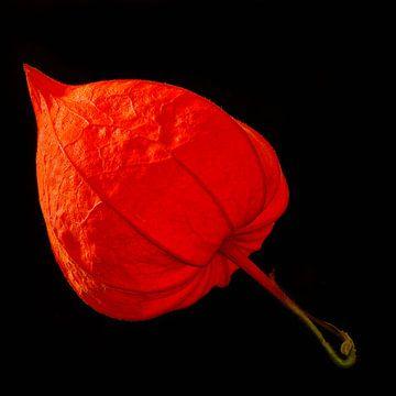 Chinese lantaarnbloem van Dieter Ludorf