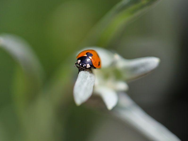 lieveheersbeestje op edelweiss van Marieke Funke