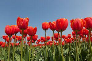 Rode tulpen tegen achtergrond van een helder blauwe lucht